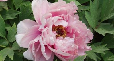 Pink Jasmine Peony Arrives at Wen
