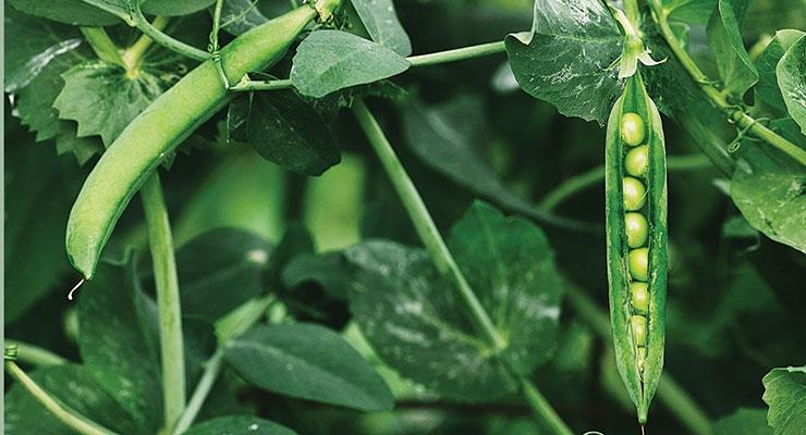 Food Formulation & Ingredient Innovation in Plant Proteins