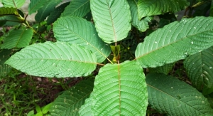 Kratom May Have Medical Benefits as Opioid Alternative