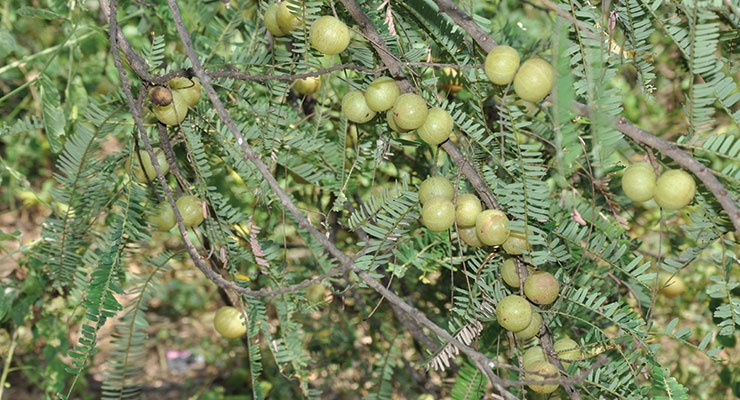 Amla (Indian Gooseberry) is a critical ingredient in Sabinsa's Saberry natural extract. Natural amla is described as a super fruit with powerful antioxidant properties.