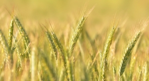 Rye Seeds Fuel Silab's Latest Ingredient