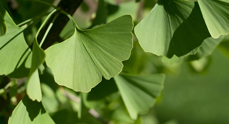 New Technique Aims to Eliminate Adulteration Of Ginkgo Biloba Leaf Extracts