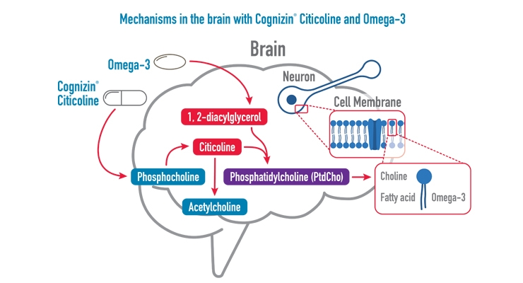 Cognizin Citicoline and Omega-3 DHA Support Brain Function