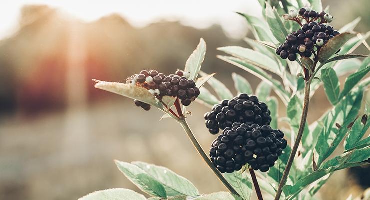 INS Farms Launches Elder Pure Elderberry