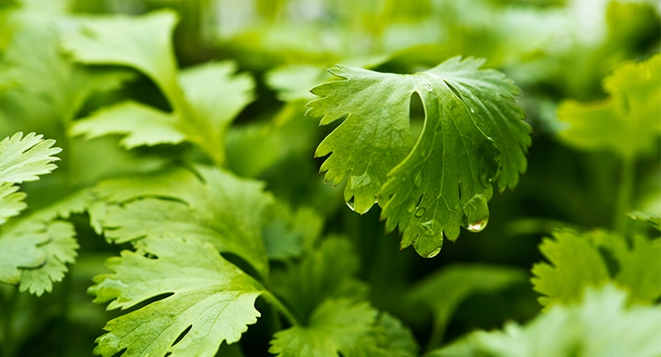 Study Explains Molecular Mechanism for Therapeutic Effects of Cilantro