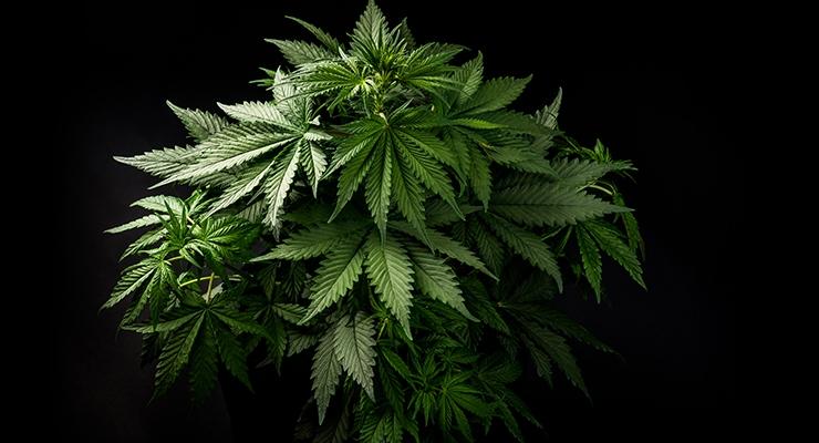 HerbalGram Article Proposes Regulatory Framework for U.S. Cannabis Industry