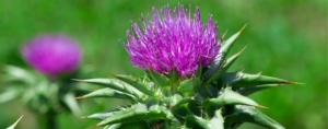Milk Thistle and Lung Cancer