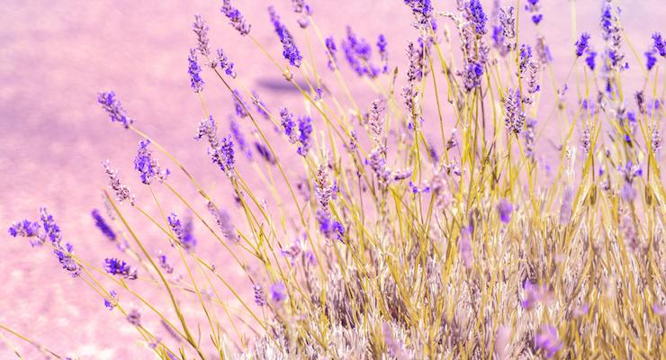 BAPP Publishes English Lavender Oil Adulteration Bulletin
