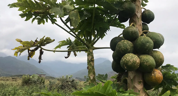 Arla Foods Enters New Partnership to Reduce Malnutrition With Dried Papaya Snack