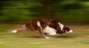 Hyaluronic Acid Ingredient Shows Efficacy for Joint Health in Dogs