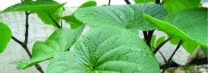 Botanical Basics: Botanicals—Not Your Simple Chemical Ingredients
