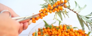 Sea Buckthorn: From Ancient Shrub to Modern Super Fruit