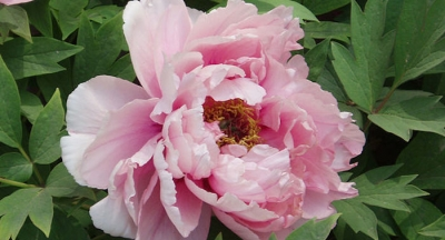 Pink Jasmine Peony Arrives at Wen