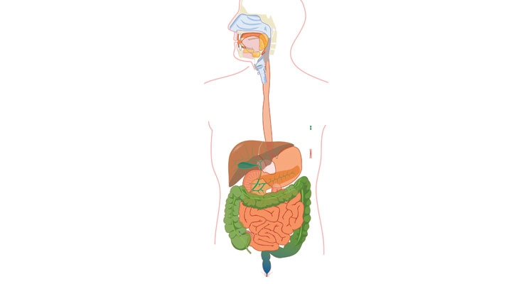 The GI tract is open at both ends and is continuous with the external environment.
