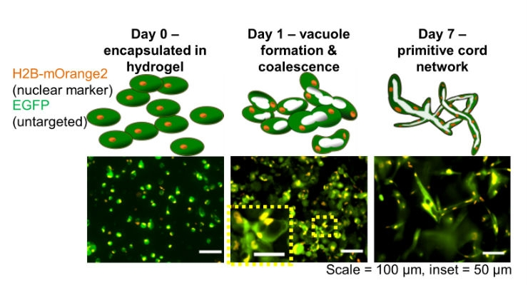 Researchers from Rice University and Baylor College of Medicine have shown they initiate a process called tubulogenesis that is crucial to the formation of blood-transporting capillaries. In microscopic images taken a different times during a weeklong experiment, researchers tracked the changes in cells (green) and cell nuclei (orange) using fluorescent markers. Image courtesy of Jeff Fitlow/Rice University.