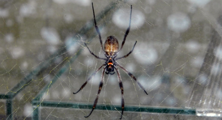 The golden orb-weaver spider
