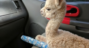 Baby Alpaca Saved Using Bone Regeneration Speeding Device