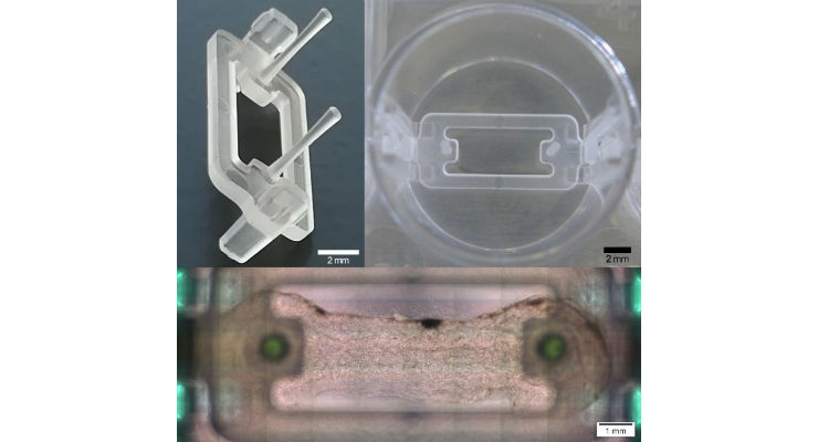 Postholder insert for the printing of dumbbell-shaped muscle-tendon tissues in a 24-well plate (left above: postholder, right above: postholder in 24-well plate [top view], bottom: bioprinted muscle tissue in 24-well well plate differentiated for 14 days [top view]). Image courtesy of Zurich University of Applied Sciences (ZHAW).