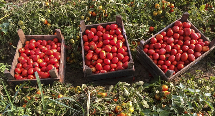 Lycored's Tomato Extract Achieves Non-GMO Project Verification