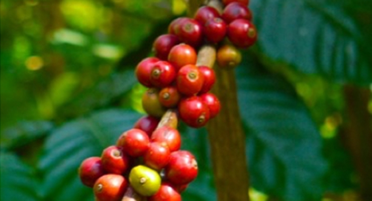 Applied Food Sciences Obtains GRAS Status for PurCaf™ a Naturally Derived Source of Caffeine