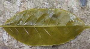 Amatea - Guayusa Extract