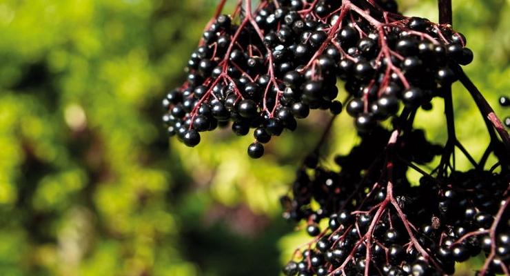 Iprona Introduces ElderCraft Black Elderberry Extracts