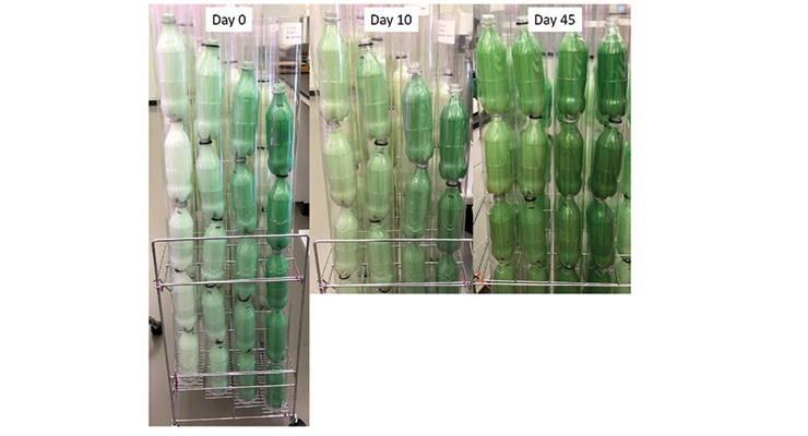 Figure 9.  Coated array where each sleeve of PET containers contains increasing amounts of algae from left to right: 0.5%, 1.0%, 2.5%, and 5.0%.  Darkening of the coatings with time is evidence  of algae health.