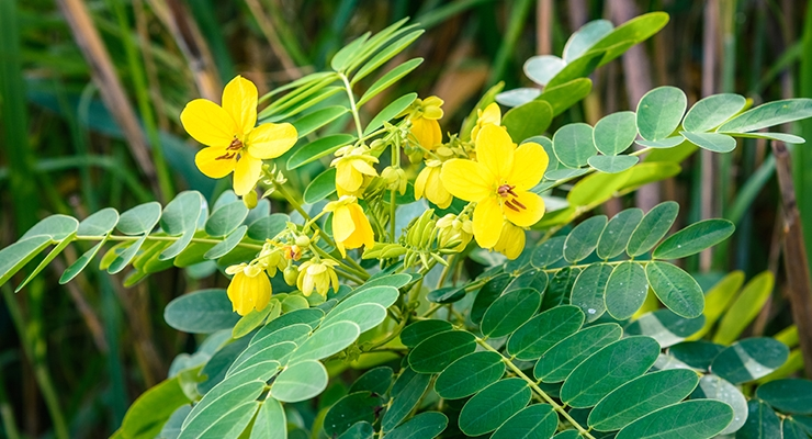 K. Patel Phyto Extractions Adopts Senna through ABC Herb Program
