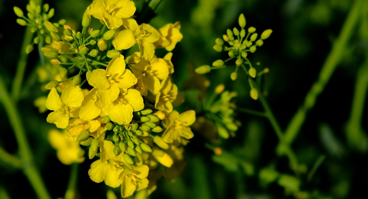 DSM and Avril Collaborate on Plant-Based Protein from Non-GMO Canola