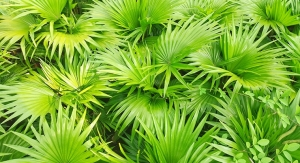 Botanical Program Reviews Analytical Methods to Verify Saw Palmetto