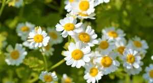 Jiaherb Helps Validate Test Method for USP Monograph of Feverfew Extract