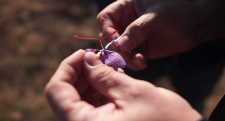 Potent Spanish Saffron Extract Lands In U S Market