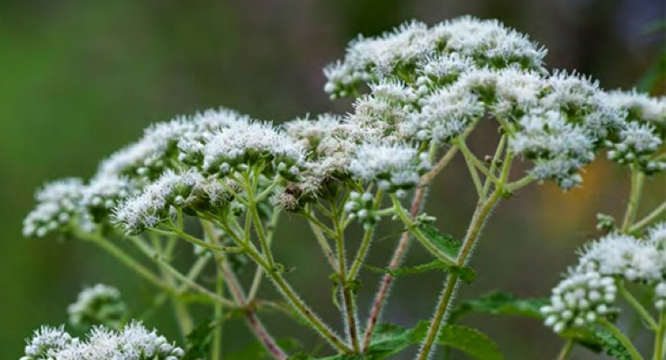 American Herbal Pharmacopoeia Releases Monograph for Boneset Aerial Parts