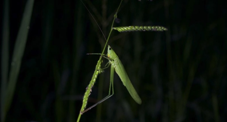 Research Shows Potential for Making Edible Grasshoppers More Nutritious