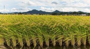 Warmer Temperatures Could Lead to Concerning Levels of Arsenic in Rice