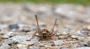 ConsumerLab Finds High Concentrations of Arsenic in Cricket Protein Powder