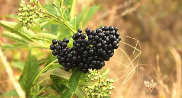 INS Farms and NutriScience Launch Novel Elderberry Product