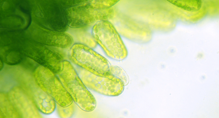 Algae Supplement Shown to Beneficially Improve Obesity Factor in Mice