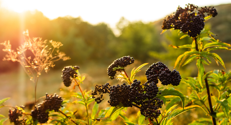 Artemis International Reacts to Adulteration Report on Berry Extracts