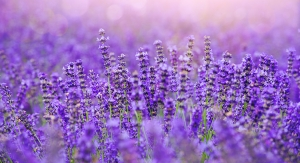 Symrise Research Will Lift Lavender
