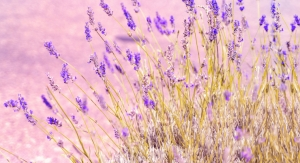 BAPP Publishes English Lavender Oil Adulteration Bulletin