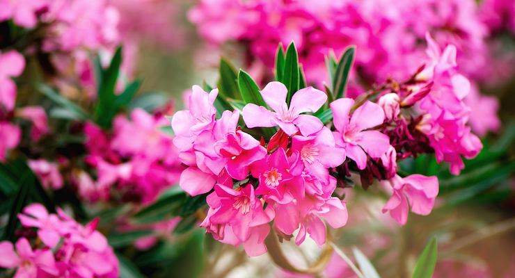 ABC, AHPA Warn Against Home Remedies Containing Highly-Toxic Oleander