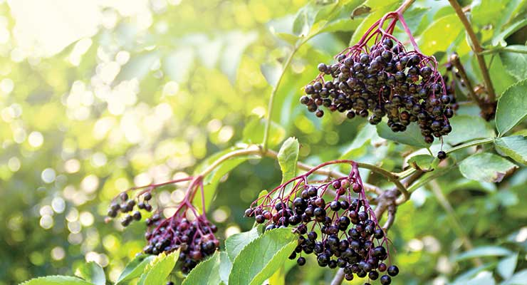 Black Elderberry: A New Age of Science & Quality