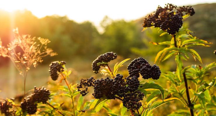 Nature's Way Launches New Line of Elderberry Products