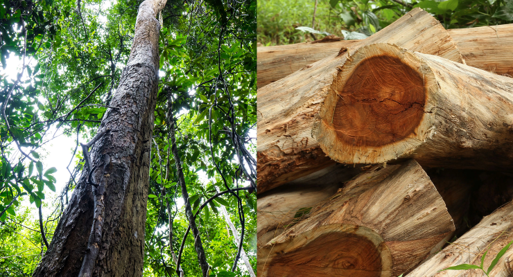 Praan Naturals Unveils Rosewood Essential Oil