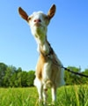 Goat Milk Products Aid Digestion