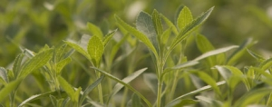 The Status of Stevia