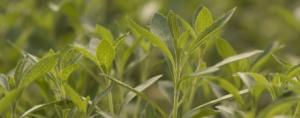 The Status of Stevia
