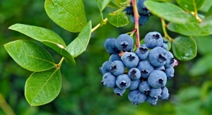 Appetites for Blueberries Flourish